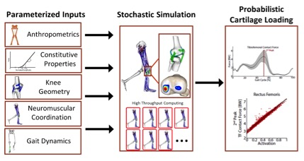 Overview of our stochastic simulation framework to investigate knee cartilage loading during movement