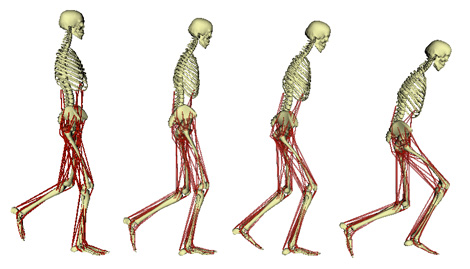 Frontiers in Zoology | Full text | Muscle formation during